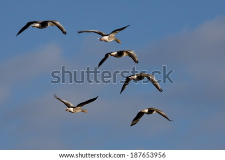 Greylag Geese (anser anser) flying over marshes in Essex - stock photo
