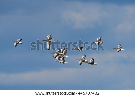 Greylag geese (Anser anser) in flight with blue skies in the background