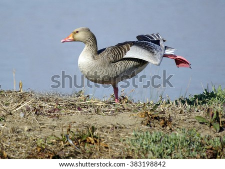 Greylag goose,Anser anser - stock photo