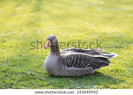Greylag goose, Anser anser resting on a meadow in spring - stock photo
