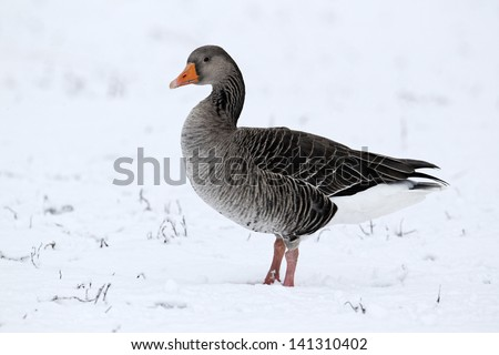 Greylag goose, Anser anser, single bird in snow, West Midlands, December 2010
