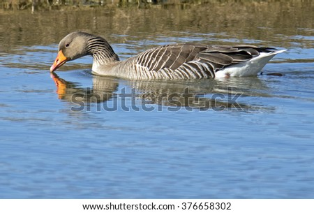 Greylag Goose (Anser anser) swimming. - stock photo