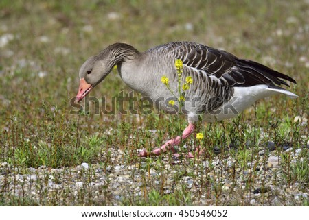 Greylag goose on a lake in bavaria.