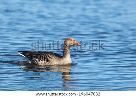 Greylag goose swimming in the lake
