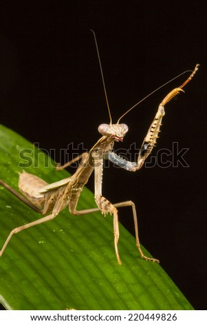 Griffin Mantis (Polyspilota griffinii) standing with one forelimb raised - stock photo