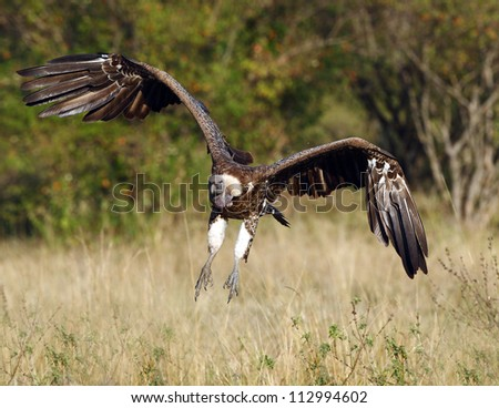 Griffin Vulture - stock photo