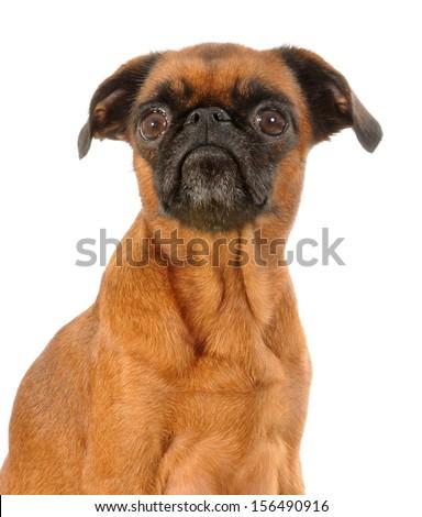 Griffon Bruxellois Dog headshot isolated on white background - stock photo