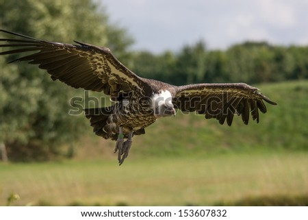 Griffon vulture coming into land - stock photo
