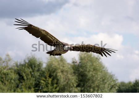 Griffon vulture flying - stock photo