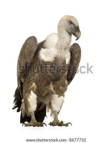 Griffon Vulture - Gyps fulvus in front of a white background