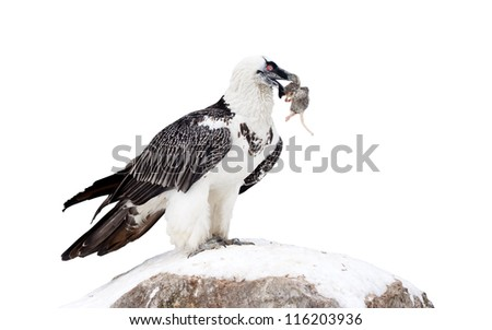 Griffon vulture (Gyps fulvus).  Isolated over white background