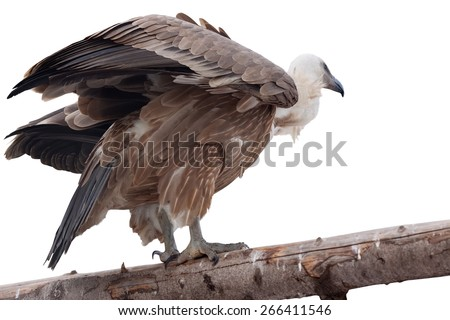 Griffon vulture (Gyps fulvus). Isolated over white background - stock photo
