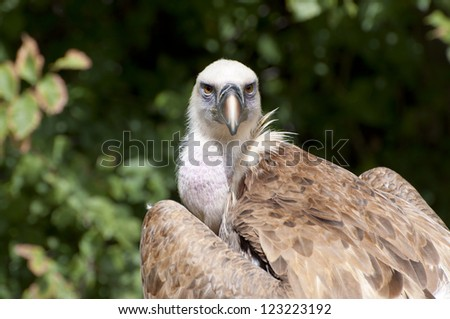 Griffon Vulture, Gyps fulvus. It is a large Old World vulture in the bird of prey family Accipitridae - stock photo