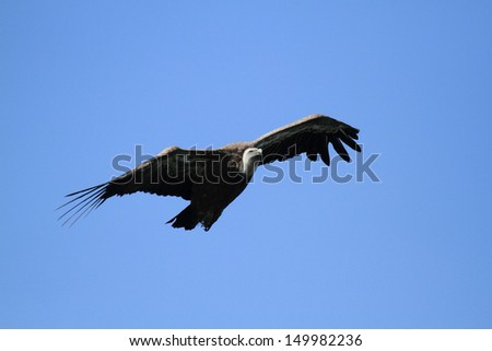 griffon vulture in flight gorges of the Verdon - stock photo