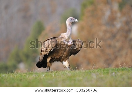 Griffon vulture in the meadow of Leon in Spain
