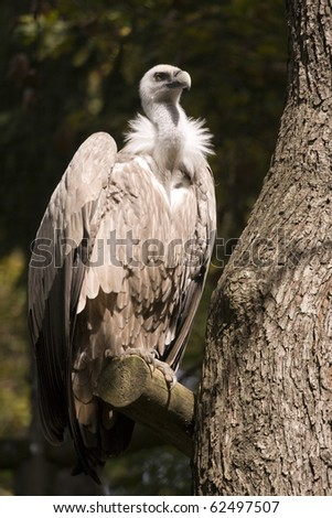 Griffon Vulture on the tree branch - stock photo