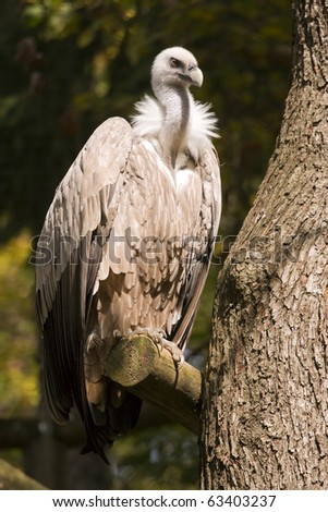 Griffon Vulture on the tree branch. - stock photo