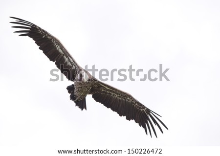Griffon vulture on white background - stock photo