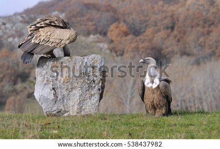 Griffon vulture perched on a stone of Leon in Spain