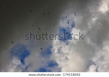 Griffon Vultures (Gyps fulvus) Circling In The Blue Sky Above - stock photo