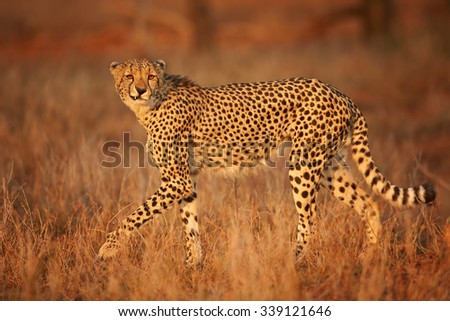 Grinning cheetah in savanna during colorful sunset