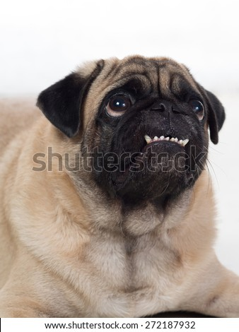 Grinning smiling cheeky pug begging for food - stock photo