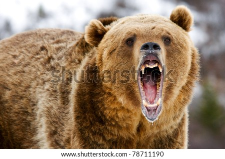 grizzly - stock photo
