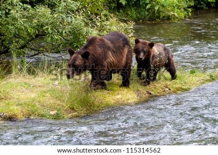Grizzly bear and Bear Cub Catching Salmon at hyder Alaska - stock photo