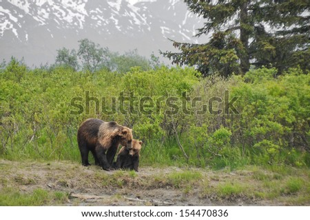 Grizzly bear and cub, Alaska - stock photo