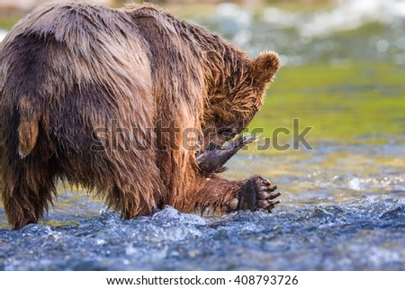 Grizzly bear catching a fish in the pristine wilderness  - stock photo