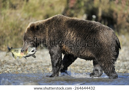 Grizzly bear catching fish in water. - stock photo
