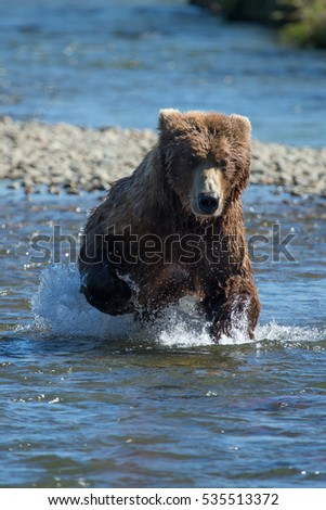 grizzly bear charging at the camera as it runs through a shallow river
