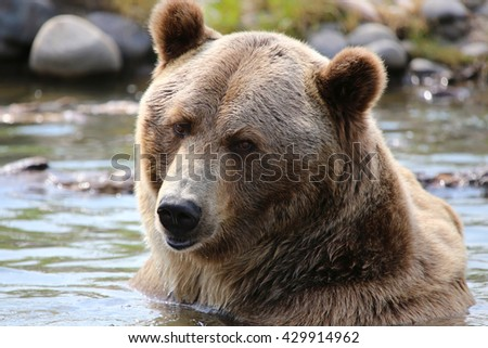 Grizzly Bear closeup in water - stock photo