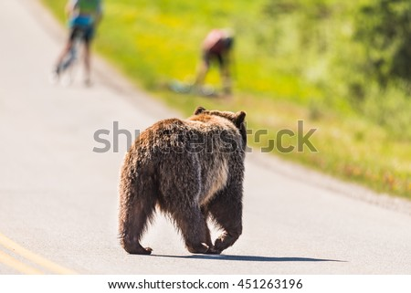 Grizzly Bear crossing a road scaring bikers off their bikes in the summertime Banff National Park Alberta Canada - stock photo