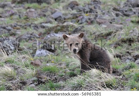 Grizzly bear cub looking at you - stock photo