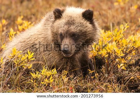 grizzly bear cub sitting in yukon territory in autumn - stock photo