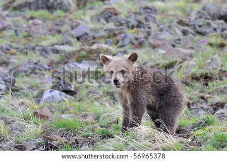 Grizzly bear cub staring at you. - stock photo