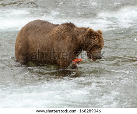 Grizzly Bear eating a fresh sockeye salmon, Brooks Falls, Katmai, Alaska, USA