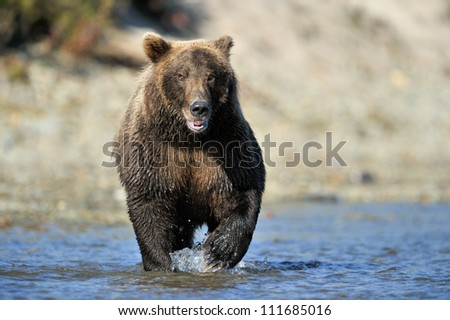 Grizzly Bear fishing in river. - stock photo