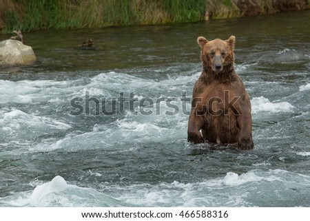 Grizzly bear in Alaska Katmai National Park hunts salmons