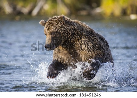 Grizzly Bear in Katmai National Park - stock photo