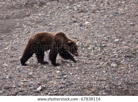 Grizzly Bear in Spring - stock photo