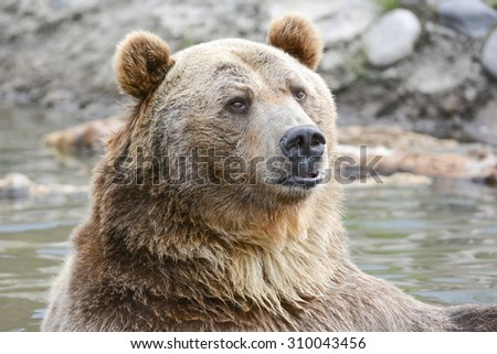 grizzly bear in water - stock photo