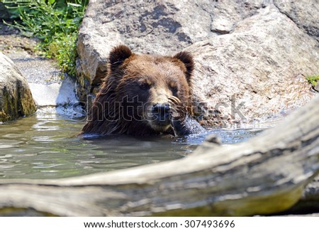 Grizzly Bear in water - isolated - stock photo