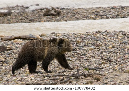 Grizzly Bear in Yellowstone National Park by the River - stock photo