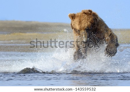 Grizzly Bear jumping on fish - stock photo