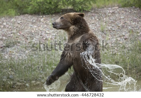 Grizzly bear looking like Godzilla, in water swinging arms with water coming off. - stock photo
