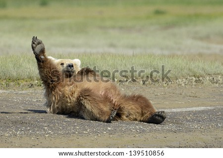 Grizzly Bear lying on beach and stretching - stock photo