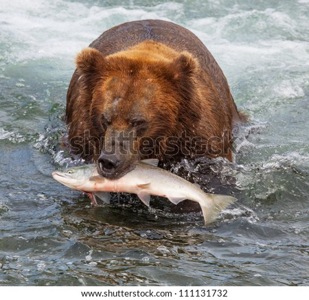 Grizzly bear on Alaska - stock photo