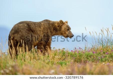 grizzly bear roaming in alaska's katmai national park in summer - stock photo